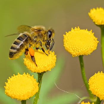 animal-bee-bloom-460961-350x350